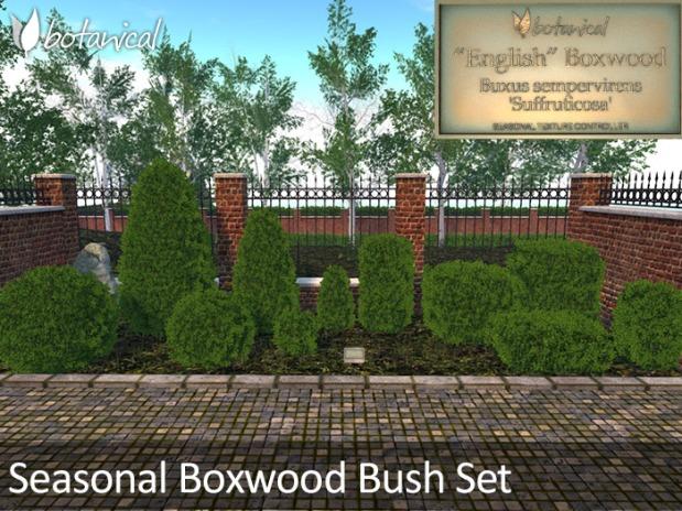 BoxwoodBushP1