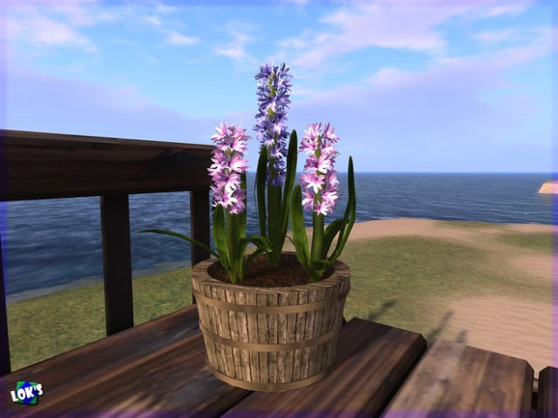 LOK'S - Hyacinth in wood planter
